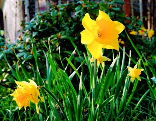 daffodils flowers yellow