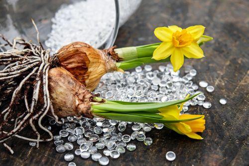 daffodils flowers blossom