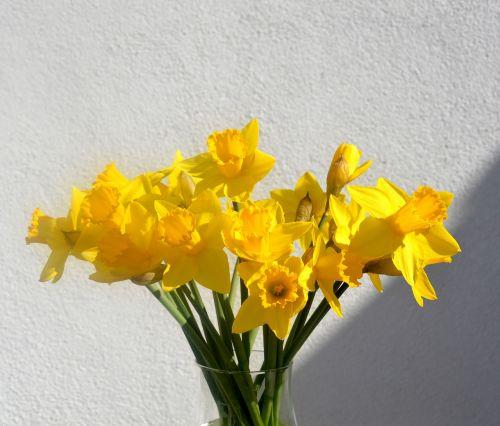 daffodils osterglocken yellow