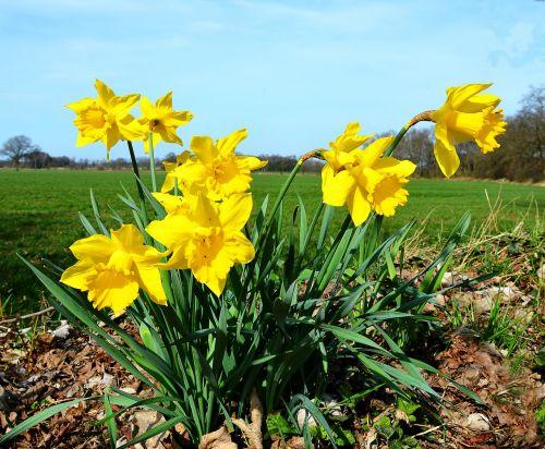 daffodils yellow spring