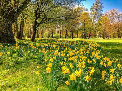 daffodils osterglocken park
