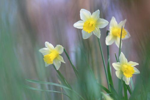 daffodils yellow flower