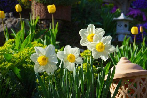 daffodils osterglocken flowers