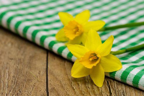 daffodils osterglocken amaryllidoideae