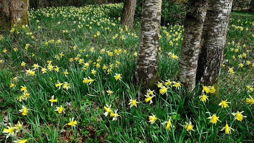 daffodils  osterglocken  nature