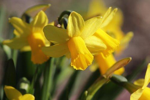 daffodils  spring daffodils  spring flowers