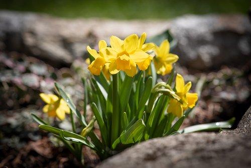 daffodils  yellow  small