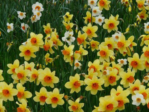 daffodils yellow osterglocken