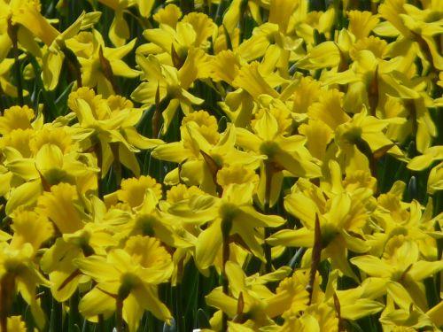 daffodils daffodil field osterglocken