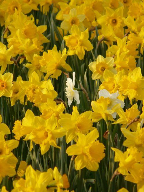 daffodils osterglocken flower