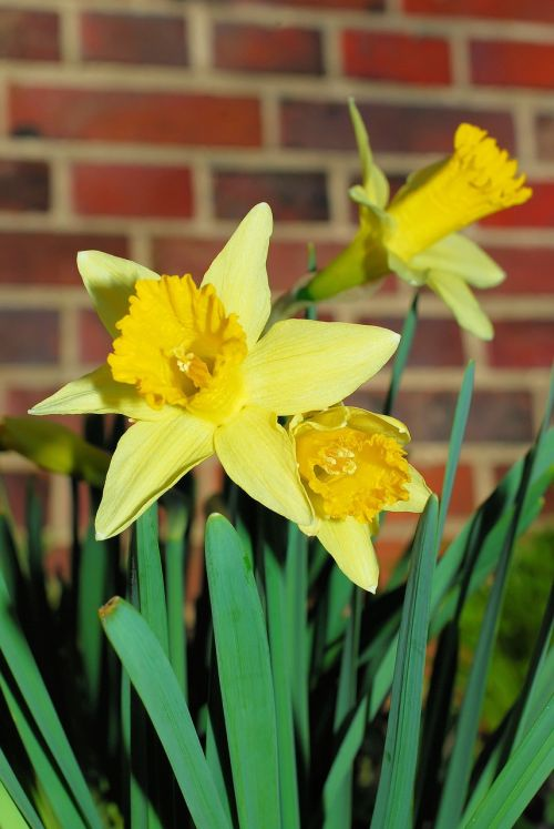 daffodils osterglocken yellow