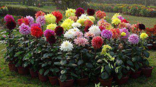 dahlia flower flora
