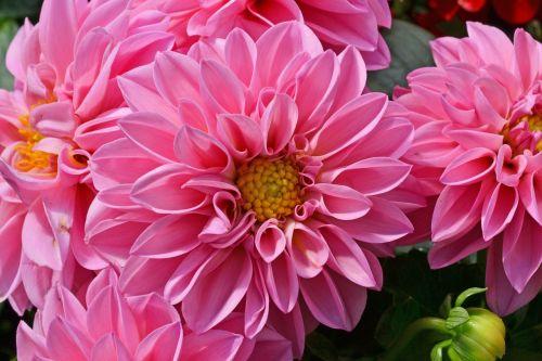 dahlia pink flower georgine