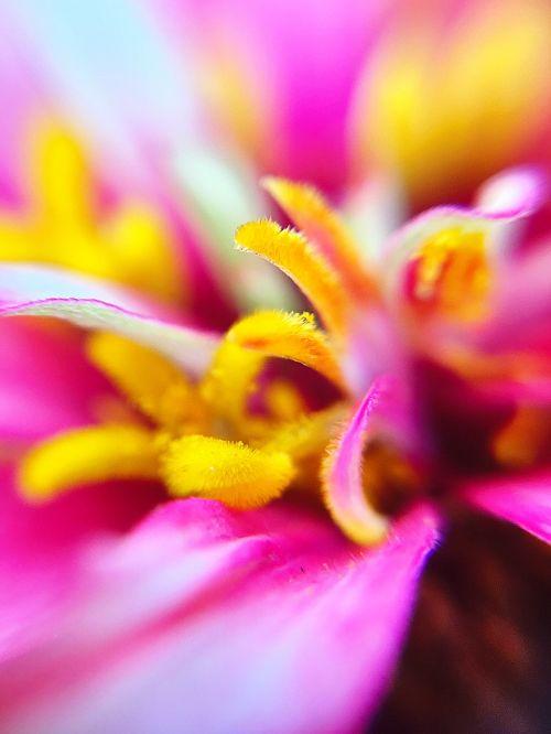 dahlia stamen flowers