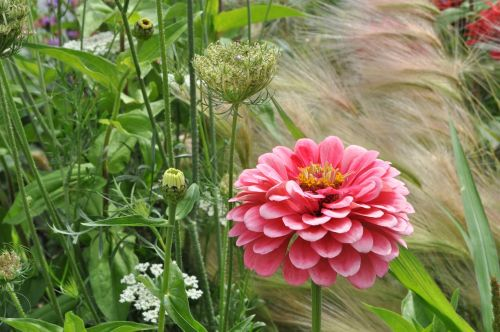 dahlia bed flowers