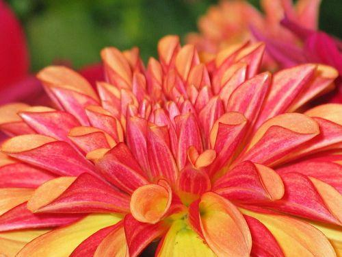 dahlia dahlias garden orange