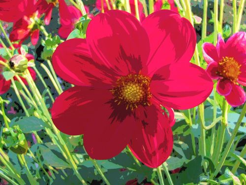 dahlia,oranžinė,raudona,ruduo,sodas,gamta,gėlė,žiedas,žydėti,dervos,flora,vasaros pabaigoje,saulė