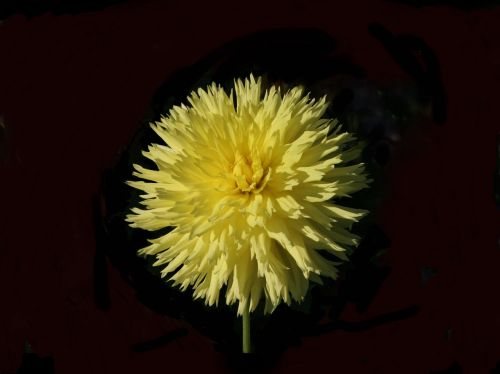 dahlia hissy fitz yellow