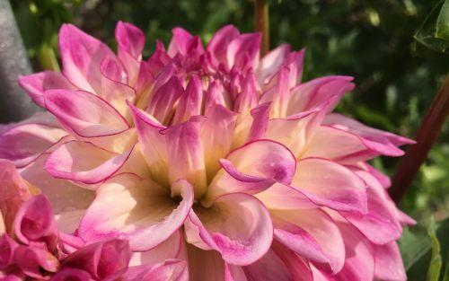 dahlia orion closeup
