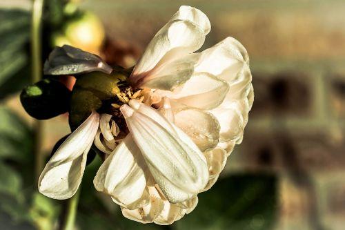 dahlia bright flower blossom