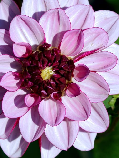 dahlia purple flower