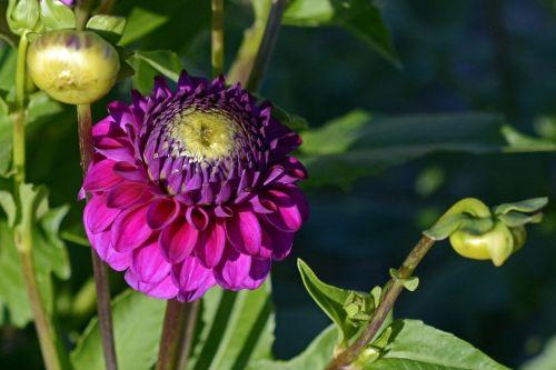 dahlia flower blossom