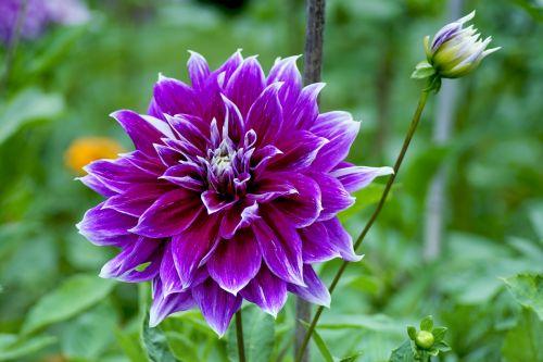 dahlia purple pink