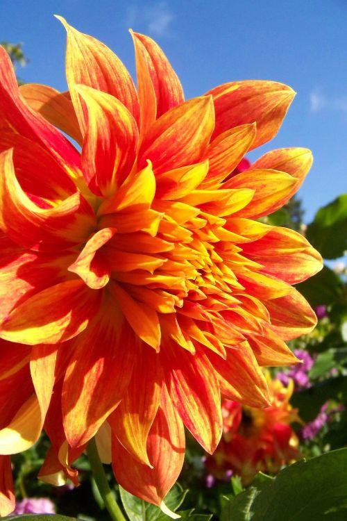 dahlia,milžiniška gėlė,oranžinė gėlė,didžioji gėlė,sodas,milžinas,žiedlapis,žiedas,šviesus,sodininkystė,žydėjimas,žydėti,sezonas,elegancija,botanikos,biologija,subtilus,trapi,sezoninis