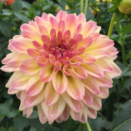 dahlia pink it is pale