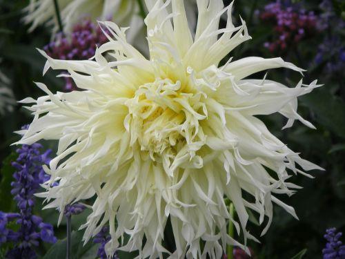dahlia white blossom