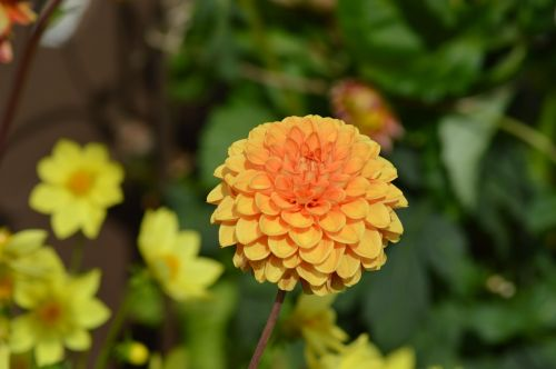 dahlia flower orange
