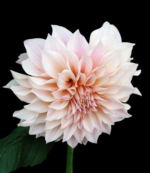dahlia pink tender