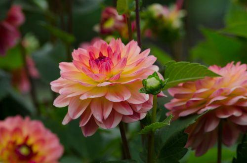 dahlia flower dahlia garden