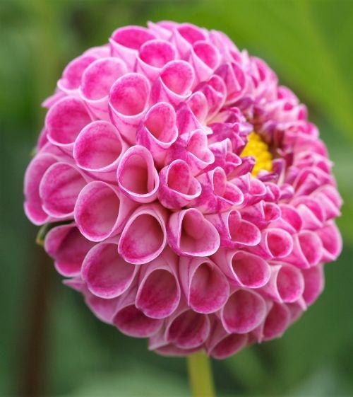 dahlia pompom flower