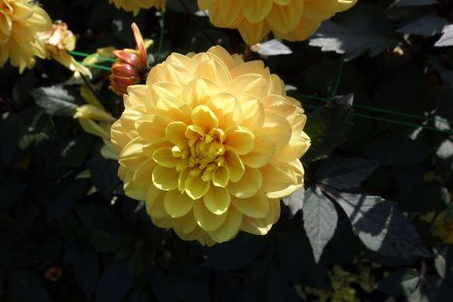 dahlia flower dalia