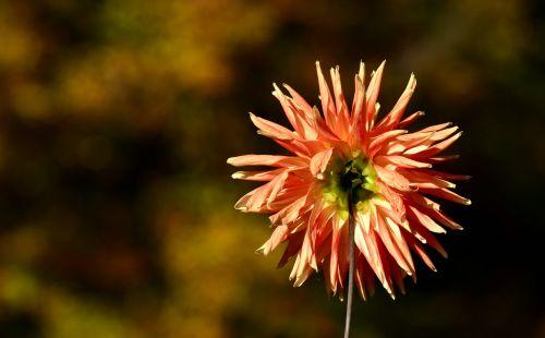 dahlia back flower