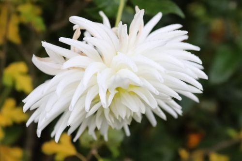 dahlia blossom bloom
