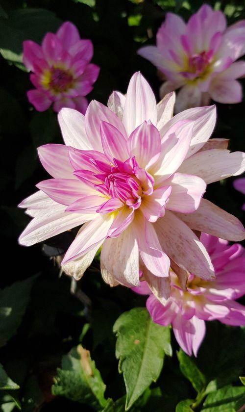 dahlia flower dahlia flower