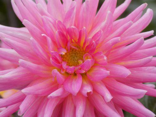 dahlia,gėlė,makro,Iš arti,rožinis,makrofotografija,gėlių georhina
