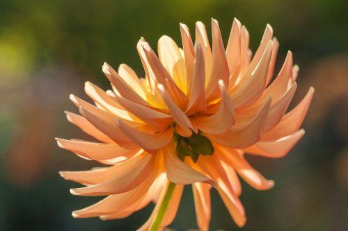 dahlia back light blossom