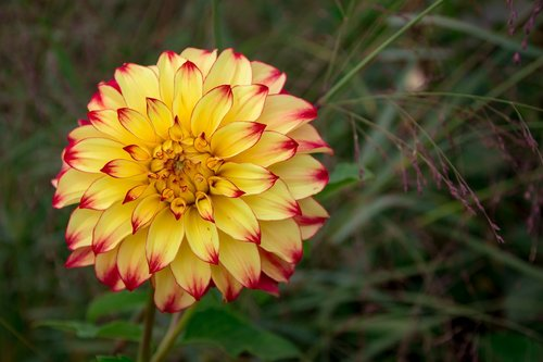 dahlia  yellow  close up