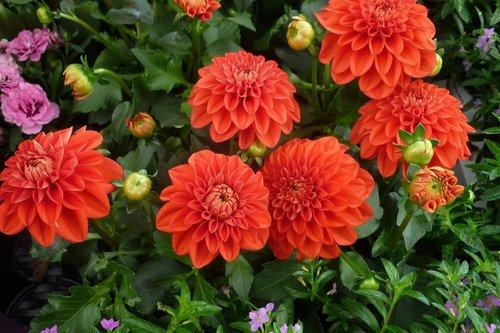 dahlia  flower  red