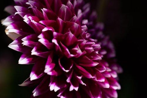 dahlia  flower  purple