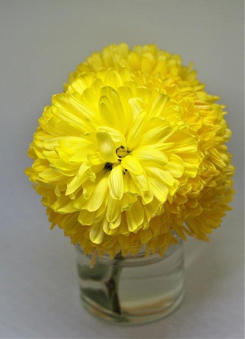 dahlia  flower  bloom