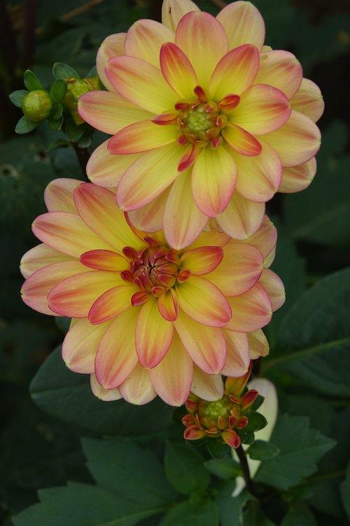 dahlia  flowering july to december  vendée