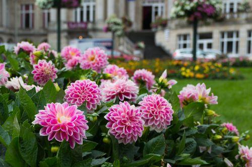 dahlia,gėlė,augalas,sodas,perk,dahlia laukas,gėlės,žydėti,klestėti,žydėjimas,Dalia,rožinis,žalias,lakštas,lapai,flora,žiedlapis,linksmas,Alyva,vasara,bloom time,žiedas,žiedo laikas,violetinė,hovenieren,parkas,sodininkystė,spalva,spalvos,spalvinga,augalai,gražus,gamta,botanika,botanika