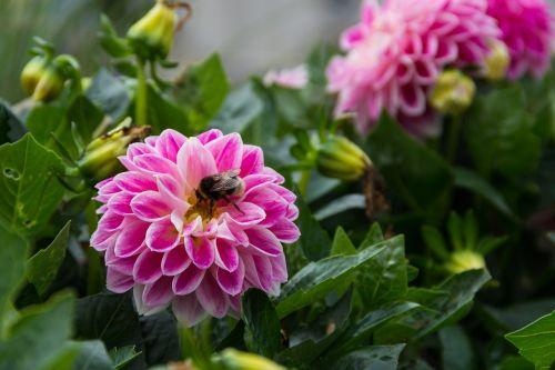 dahlia,gėlė,augalas,sodas,perk,kamanė,dahlia laukas,gėlės,žydėti,klestėti,žydėjimas,Dalia,rožinis,žalias,lakštas,lapai,flora,žiedlapis,linksmas,Alyva,vasara,bloom time,žiedas,žiedo laikas,violetinė,hovenieren,parkas,sodininkystė,spalva,spalvos,spalvinga,augalai,gražus,gamta,botanika,botanika,nektaras,žiedadulkės,apdulkinimas