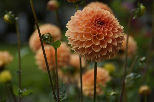 dahlia orange garden