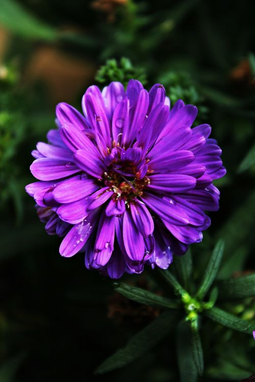 dahlia purple violet