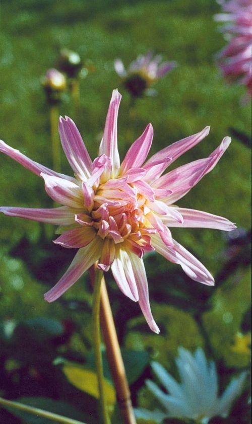 dahlia pink summer